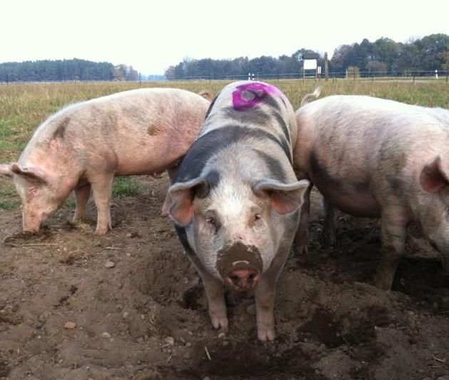 Fleisch mit Gesicht: die Schweine von meine kleine Farm