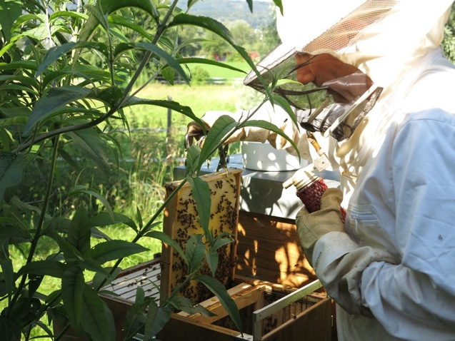 Bienen-Sterben der Imker bei der Arbeit