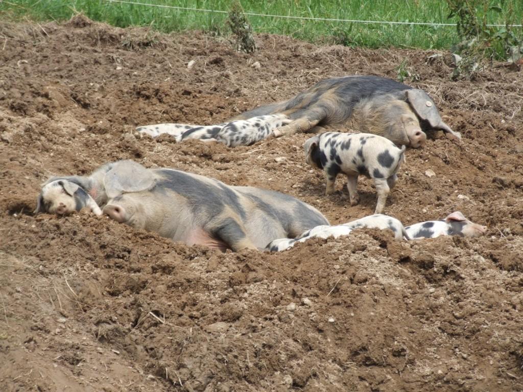Schweine-Leasing