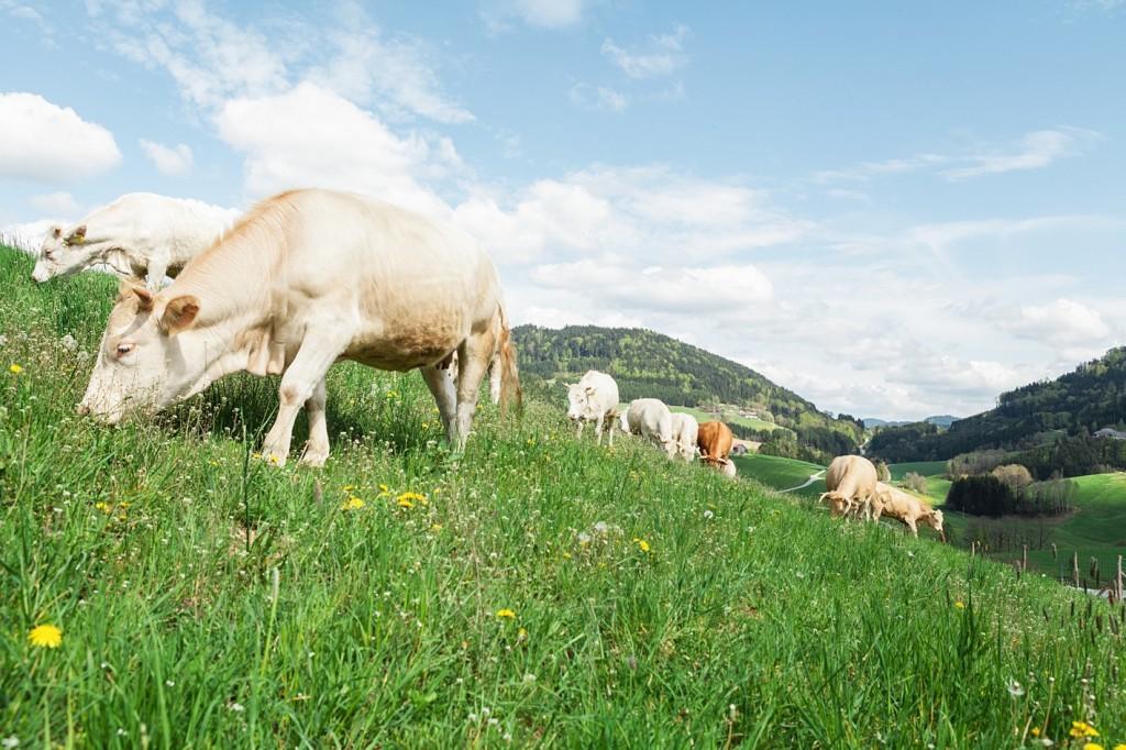 High Res Freilandrinder auf Weide _ Copyright Schwarzbergerhof