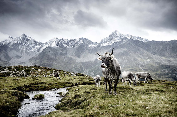Die Kuh Werner Lampert Buch