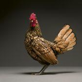 Eine Liebeserklärung an Hühner