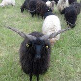 (2) Gefährdete Nutztierrassen: das Zackelschaf