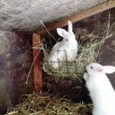 Schweizermichelhof-Kaninchen