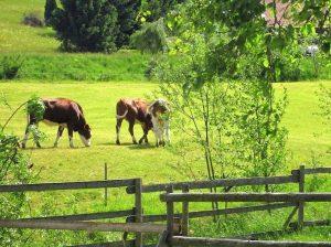 Schweizermichelhof Kühe Weide