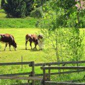 Schweizermichelhof-Kühe-Weide