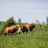Schweizermichelhof-Kühe-Weide-Fressen