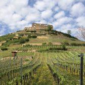 Weingut-Rieger-Weingarten-1